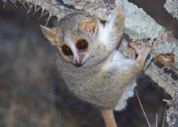 Studie an madagassischen Lemuren
